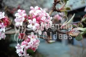 care for Viburnum