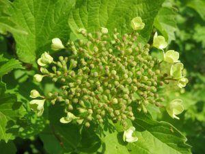 VIBURNUM, How to care for Viburnum?