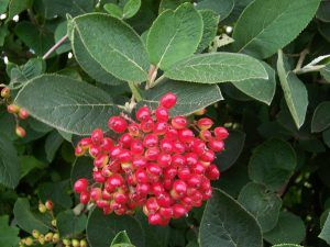 VIBURNUM GUIDE FOR GROWING
