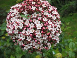 VIBURNUM, How to care for Viburnum?